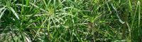گیاه نخل مرداب - طرزکاشت گل مرداب باتصویر
