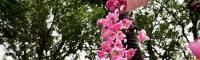 مراسم گلابگیری در کاشان -آکا - گلاب گیری کاشان