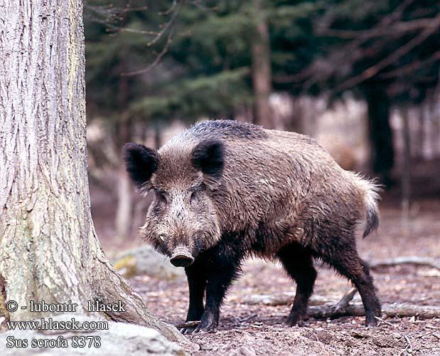 کاشت اعضای انسان درون بدن خوک تصاویر آکا گراز - bargozideha.com mimplus.ir