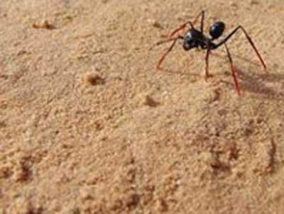 مورچهها حساب میدانند!