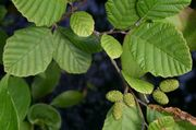 180px-Alnus_incana_rugosa_leaves.jpg
