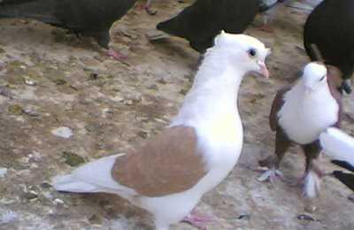 شناخت کبوتران اصیل المان انواع کبوتر