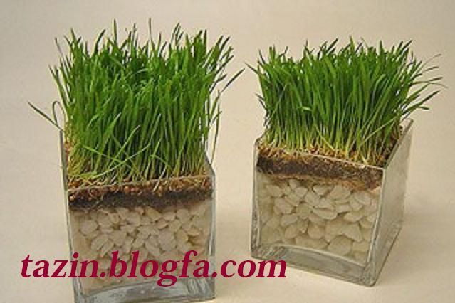 کپک زدن سبزه کندم سبزه در گلدان شیشه ای با سنگهای زینتی