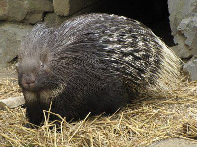 Indian_Crested_Porcupine_02_by.jpg