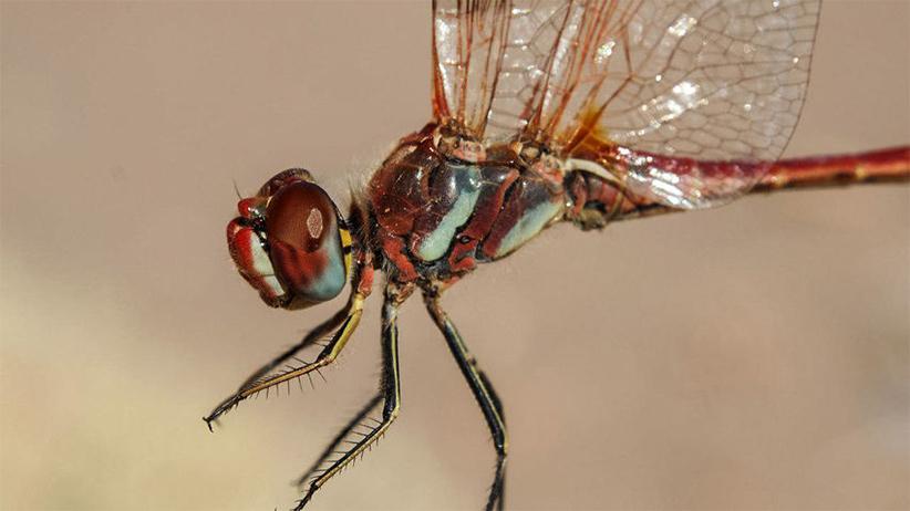 کنارههای بیابان لوت محل زندگی گونههای مختلفی از حشرات از جمله این سنجاقک است که گروه در شروع سفر به آن برخورد کردند. بعضی از حشرات در مناطق عمیقتری از لوت زندگی میکنند. عکس از حسین رجایی