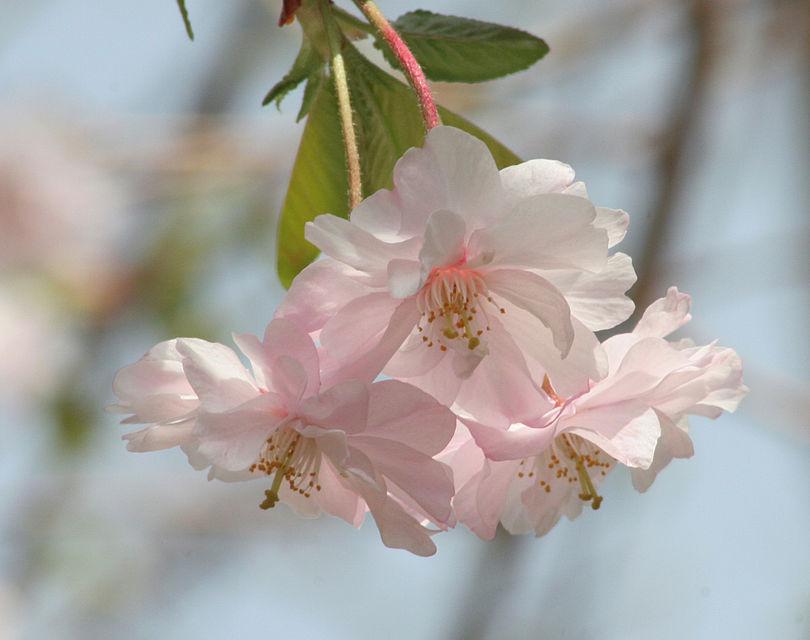 شکوفههای درخت گیلاس