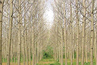 معرفی انواع درخت و چوب ، درباره درخت صنوبر , تبریزی