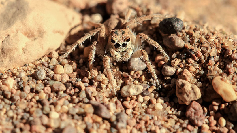 گروه در طول سفر ۷۰۰ کیلومتری خود در ۳۷ نقطه توقف کردند تا جمعآوری نمونه انجام دهند.آنها با بندپایان گوناگونی برخورد کردند. این عنکبوت جوان یک گونهی اندمیک در ایران است. عکس از بهمن ایزدی