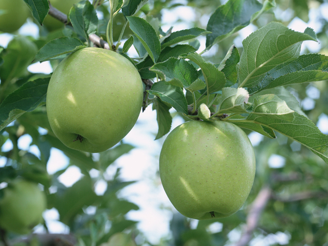 تصاویر زیبا از درختان سیب - عکس های طبیعت - عکس سیب