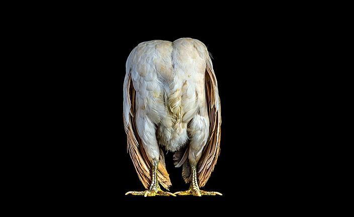 عکس مرغ و خروس های خوشگل